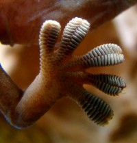 """Gecko foot on glass"" by Bjørn Christian Tørrissen - Own work by uploader, http://bjornfree.com/galleries.html. Licensed under CC BY-SA 3.0 via Commons"